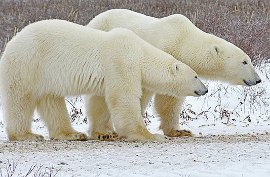 Polar Bear Pair by Michelle Halsey