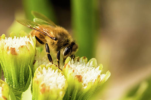 Pollen Collector  by Jay Stockhaus
