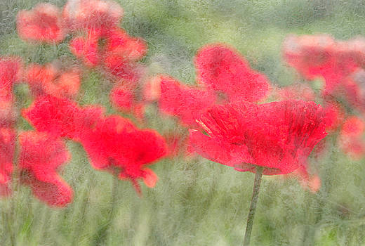 Poppies by Catherine Alfidi