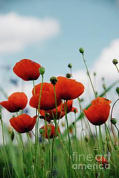 Poppy Field by Jelena Jovanovic