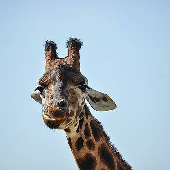 Portrait of African Giraffe Giraffa against blue sky background by Matthew Gibson