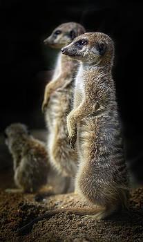 Portrait of meerkat by Libor Vrska