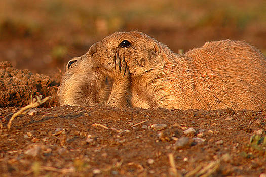 Prairie Dog Tender Sunset Kiss by Max Allen