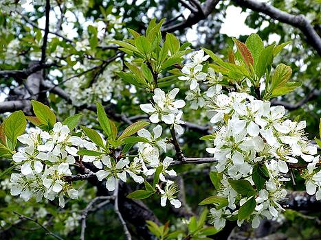 Prune Plum Blossoms by Will Borden