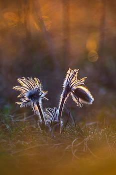 Pulsatilla nigricans by Davorin Mance