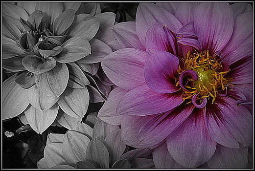 Purple Dahlia on Black and White by Dora Sofia Caputo Photographic Design and Fine Art
