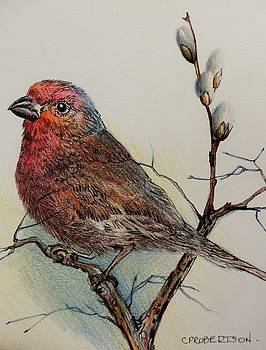 Purple Finch and Pussy Willows by Catherine Robertson
