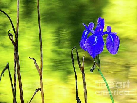 Purple Iris by Tina Hailey