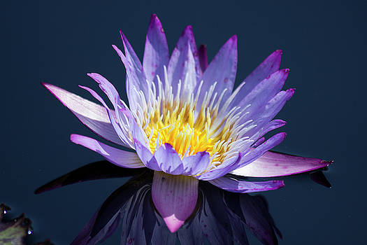 Purple Water Lily by Mark Michel