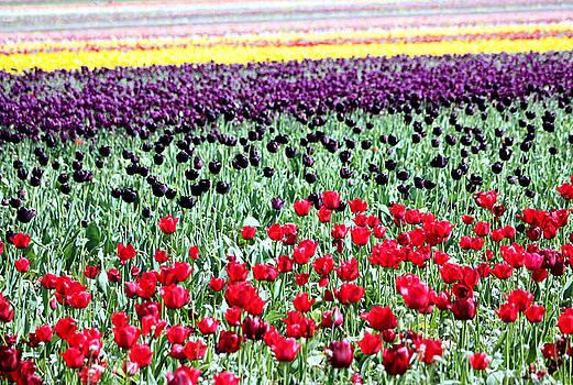 Nick Gustafson - Rainbow of Tulips