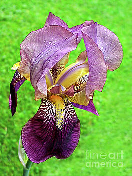 Raindrops on Purple and Yellow Iris by Jenness Asby