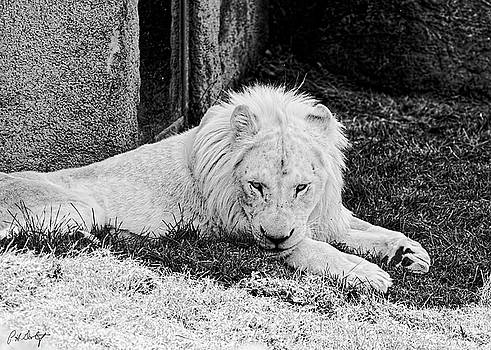 Rare White Lion by Phill Doherty