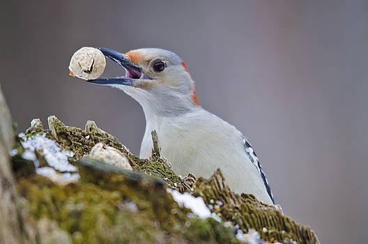 Christine Kapler - Red-bellied Woodpecker