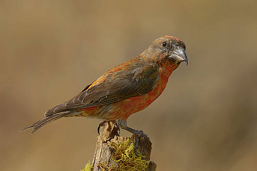 Red Crossbill by Doug Herr