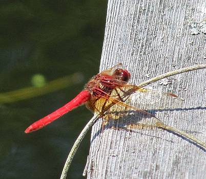 Red Dragonfly by Tracey Levine