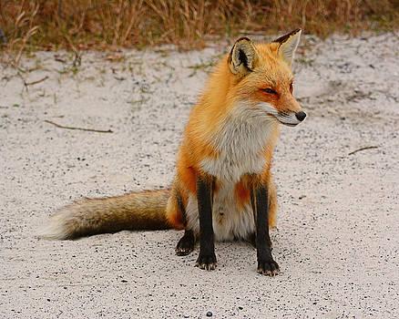 Raymond Salani III - Red Fox 3