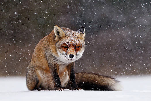 Red Fox Sitting in the Snow by Roeselien Raimond