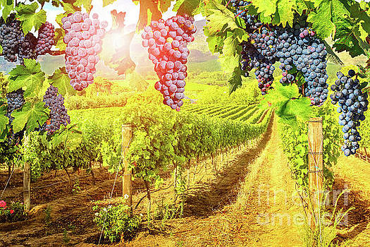 Red grapes hanging in vineyard by Benny Marty