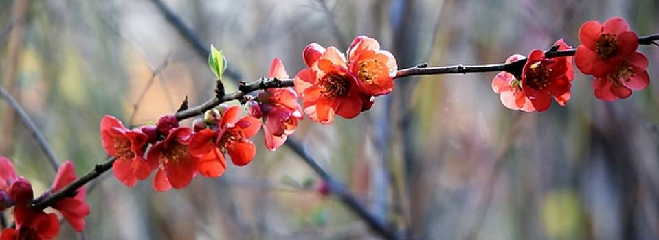 red Japanese quince flowers by Werner Lehmann