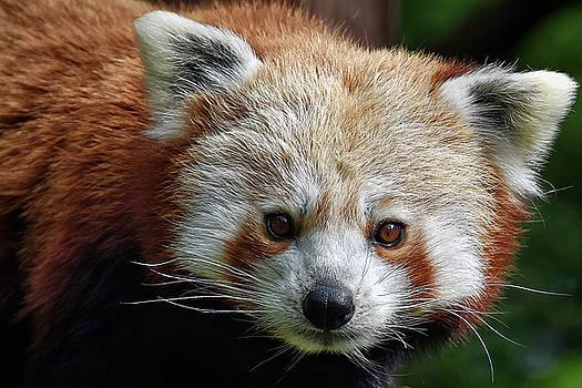 Red Panda by Kuni Photography