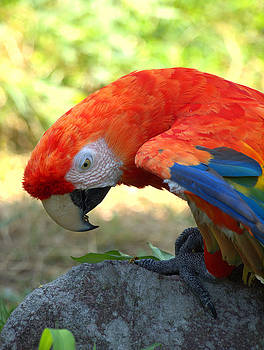 Red Parrot by Rachel Mirror