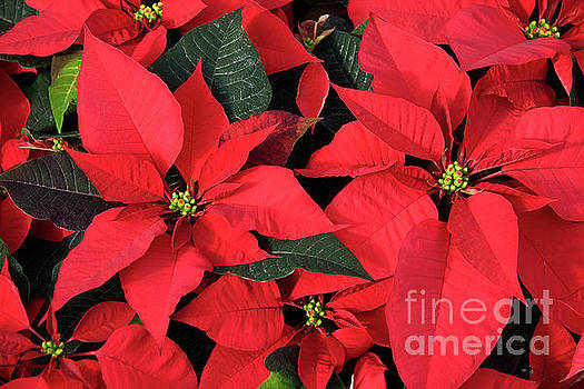 Jill Lang - Red Poinsettias