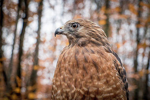 Red Shouldered Hawk by Angie Rea