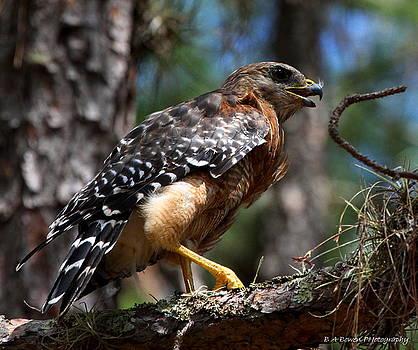 Barbara Bowen - Red Shouldered Hawk