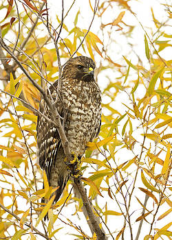 Red-shouldered Hawk by Doug Herr
