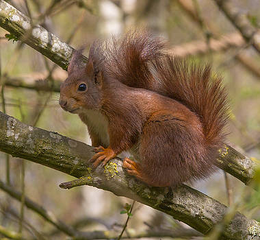 Dee Carpenter - Red Squirrel