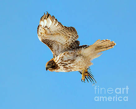 Red-Tail Flight by Mike Dawson