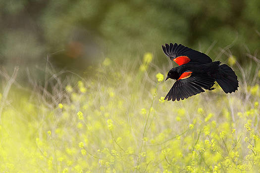 Susan Gary - Red Winged Blackbird in Flight