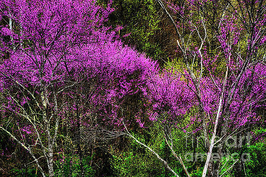 Redbud in the Woods by Thomas R Fletcher