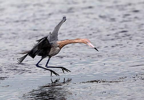 Reddish Egret fishing by Jack Nevitt