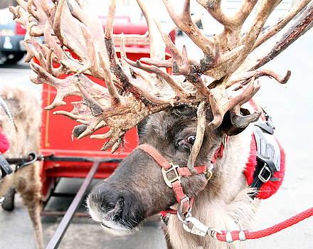 Reindeer by Laurie Prentice