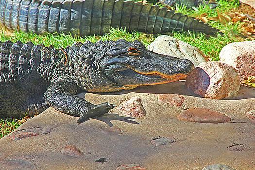 Richly Hued Colorado Gator on the Rocks 2 10282017  by David Frederick