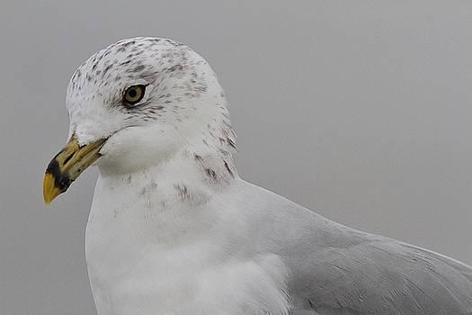 Ring-billed Gull by Linda Crockett