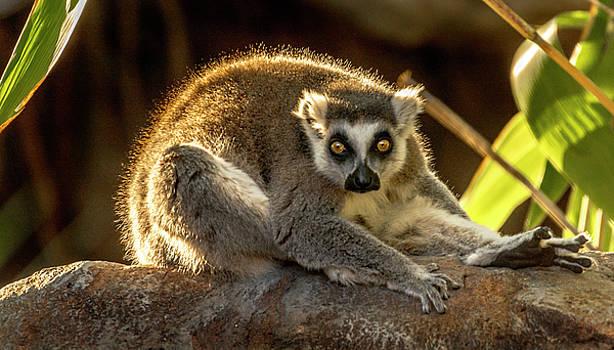 Ring Tail Lemur by Tito Santiago