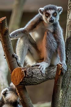Ring tailed lemur by Libor Vrska