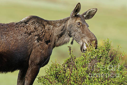 Rocky Mountain Moose at Willows by Natural Focal Point Photography