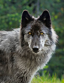 Rogue Wolf - Wolfdog Portrait by Andrea Borden
