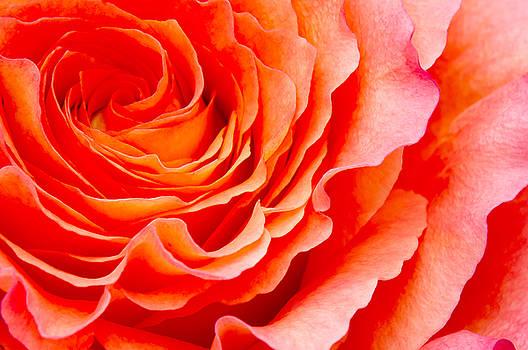 Angela Doelling AD DESIGN Photo and PhotoArt - Rose