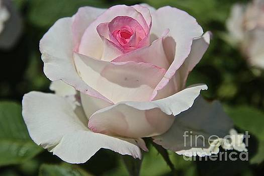 Rose by Anthony Jones