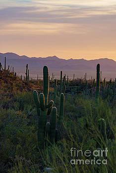 Bob Phillips - Saguaro Country Sunset One