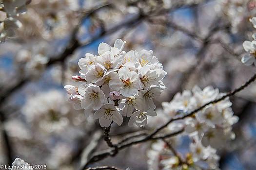 Leonard Sharp - Sakura Spring