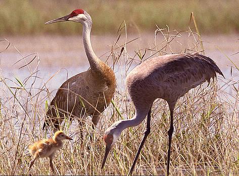 Sandhill Crane Family by Richard Nickson