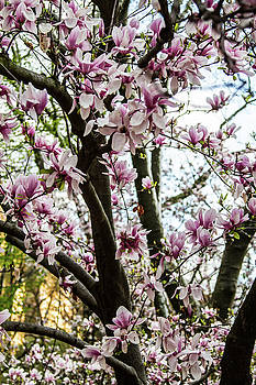 Saucer Magnolias in Central Park by Robert J Caputo