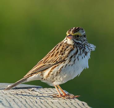Dee Carpenter - Savannah Sparrow
