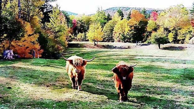 Scottish Highland Cattle - New Hampshire Fall Foliage by Joseph Hendrix