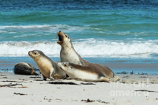 Sea Lions Australia by Andrew Michael